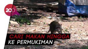 Taman Balekambang Tutup, Monyet Liar Kelaparan
