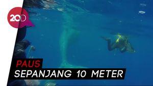 Detik-Detik Penyelamatan Paus Sperma yang Terlilit Jaring