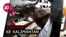 Jelang Idul Adha, Penjualan Sapi Kurban di Parepare Meningkat
