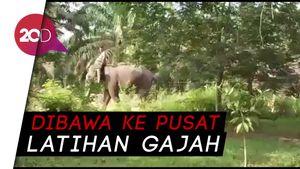 Stres Terpisah dari Kelompok, Gajah di Riau Dievakuasi