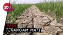 Sebulan Lebih Tak Turun Hujan, Puluhan Hektare Sawah di Subang Kering!