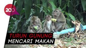 Kawanan Monyet ke Permukiman  Warga, Rusak dan Jarah Buah-buahan
