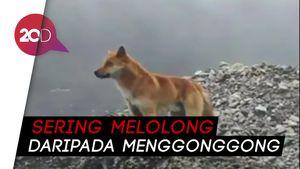 Kembalinya Nyanyian Anjing Langka di Papua yang Disangka Punah