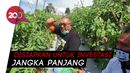 Panen Tomat Varietas Baru, Cabup Sukabumi Marwan Siapkan Agrowisata