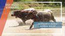 Kemeriahan Barapan Kerbau Desa Marunge Sumbawa