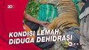 Harimau Sumatera Terjerat Perangkap di Aceh Tenggara, Kondisinya Lemah!