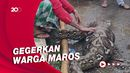 Penampakan Ular Piton 7 Meter Habis Makan Anak Sapi