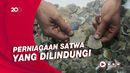 Polisi Tangkap 2 Pelaku Penjual Sisik Trenggiling-Paruh Rangkong