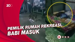 Bikin Heboh! Babi dengan Santuy Tidur di Kamar Warga