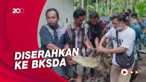 Kerap Mangsa Ternak Warga, Buaya Muara di Jambi Ditangkap