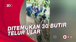 Detik-detik Sanca Kembang di Purwakarta Dievakuasi, Ditemukan Puluhan Telur