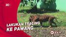 Usai 2 Harimau di Ragunan Positif Covid-19, Kini Pawangnya Diswab!