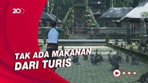 Turis Bali Hilang Bikin Kawanan Monyet Kelaparan-Serbu Rumah Warga