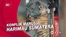 Sedih! Evakuasi Bangkai Harimau Sumatera yang Mati Kena Jerat