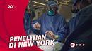 Begini Proses Transplantasi Ginjal Babi ke Manusia