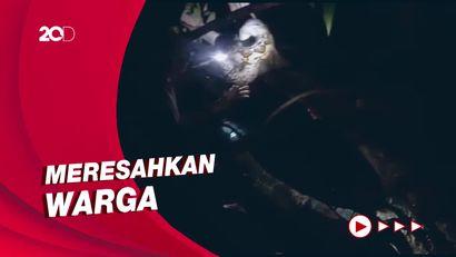 Aksi Damkar Tangkap Ular Piton Sepanjang 4 Meter